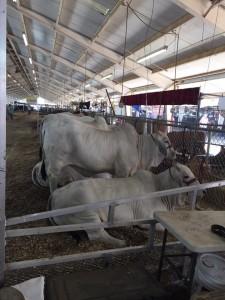 StateFair_cows
