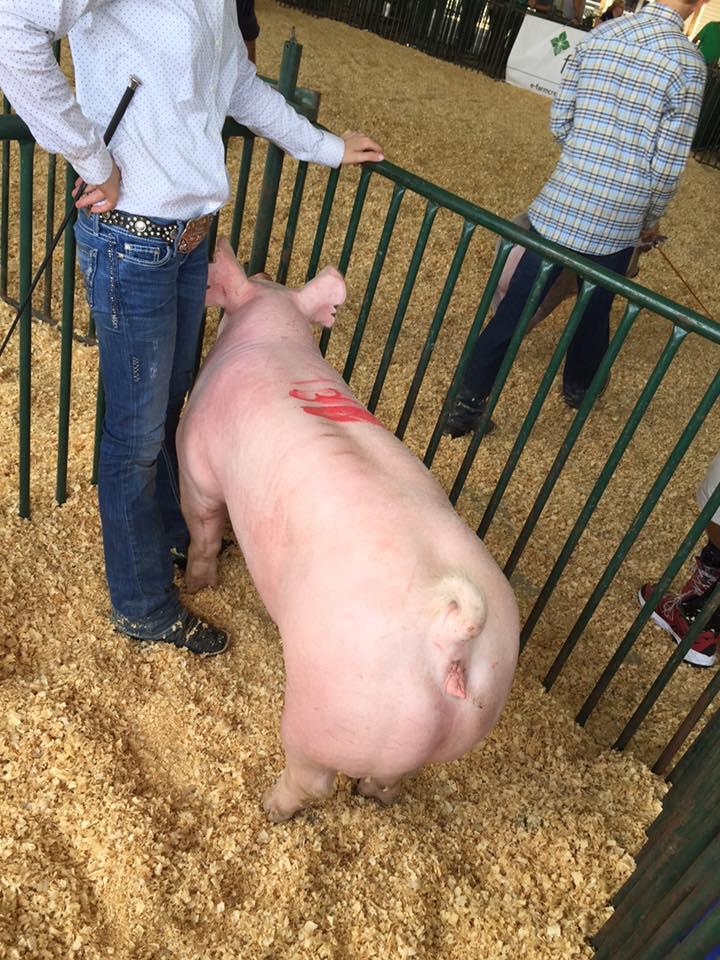StateFair_pig